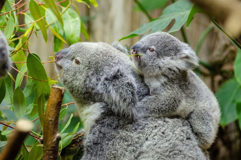 Neurobiological safety that fuels effectiveness - image of mother and baby koala